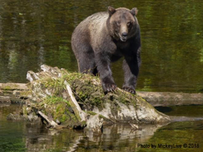 Coastal Brown Bears Call Icy Strait Point Home