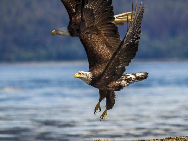 Eagles soaring with Gastineau Guiding Co