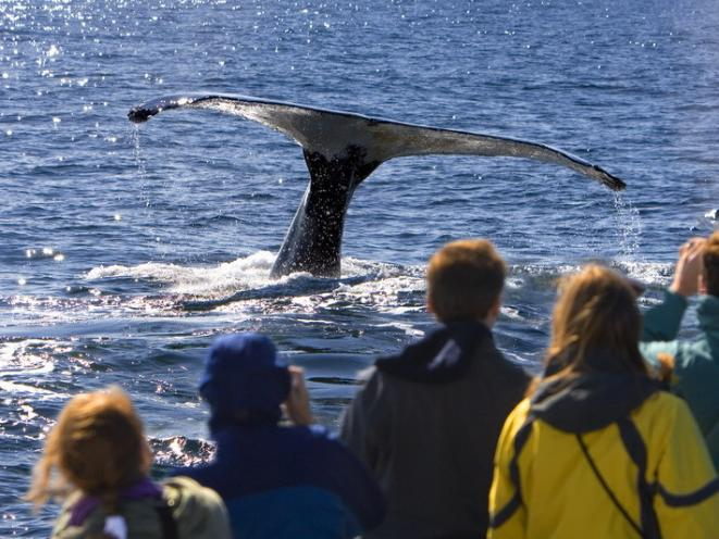 Humpback Whale Waves Its Tail To A Grateful Audience