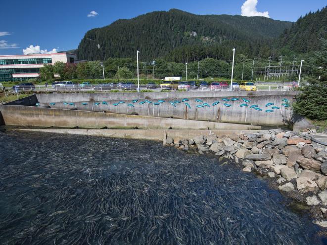 Chum salmon return from the ocean