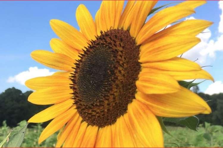Liberty Grace Farms Sunflower