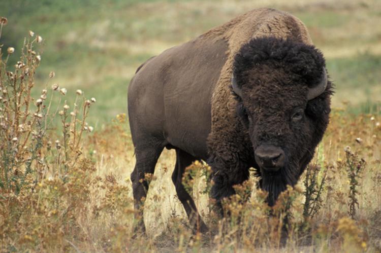Bama Bucks Bison