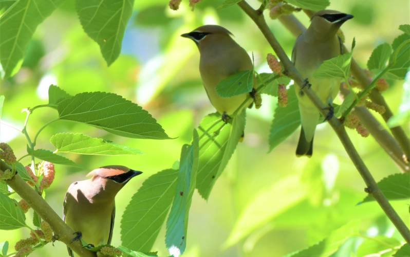 Cedar Waxwing at Peveto Woods