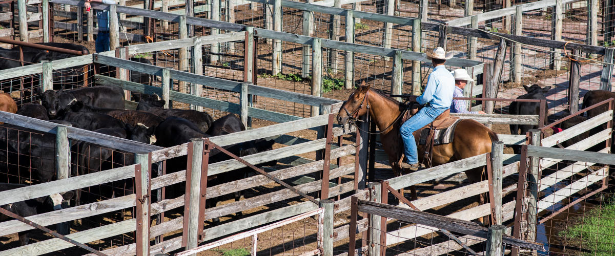 Stockyards Cattle Auction