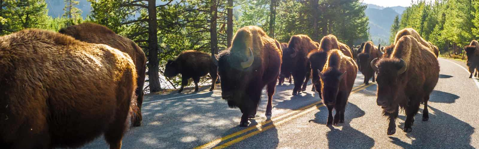 A herd of bison fill the roadway in Casper, Wyoming.