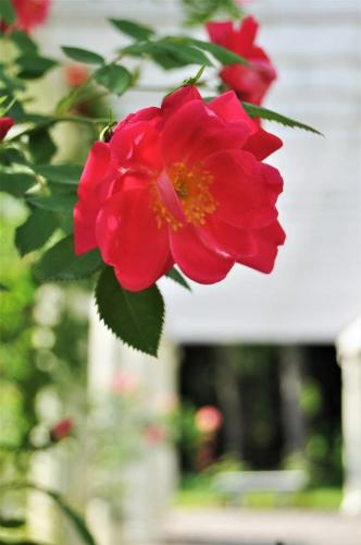 Rose on pergola at Yaddo