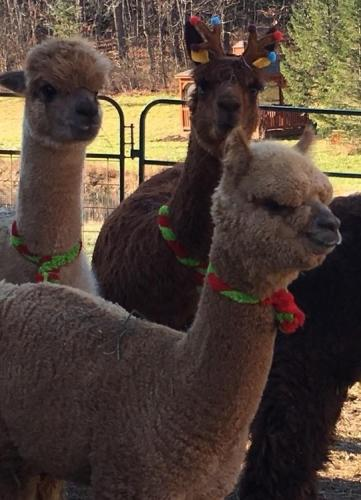 Holiday Open Farm Days at Shepherd's Creek Alpacas