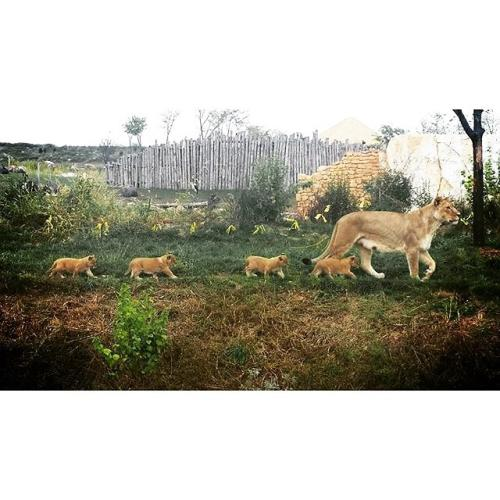 Columbus Zoo lion cubs