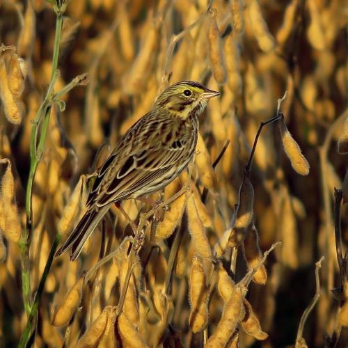 Savannah Sparrow in Flint Hills by Joe Brewer