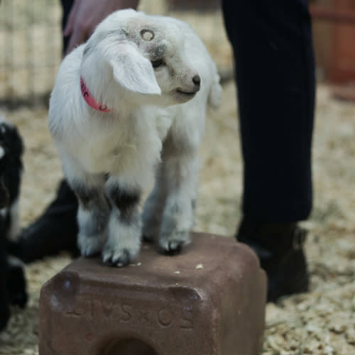 Baby-Goats-at-Deanna-Rose