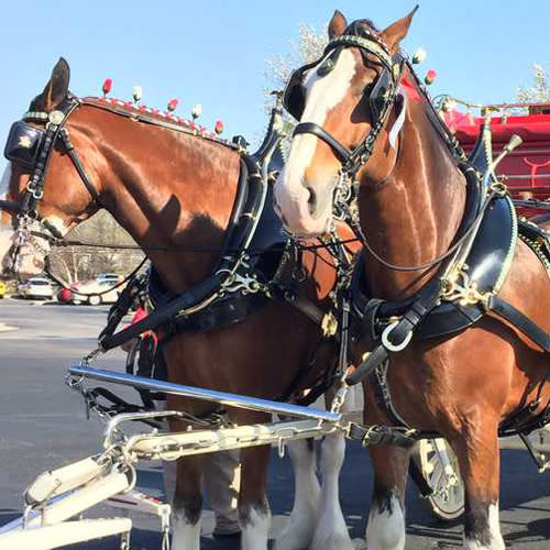 BudweiserClydesdales
