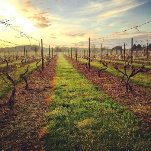 The sun starts to set over a line of grape vines in a vineyard