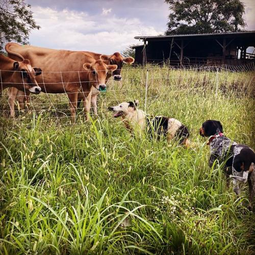 cows with 2 dogs looking at them in a sunny field