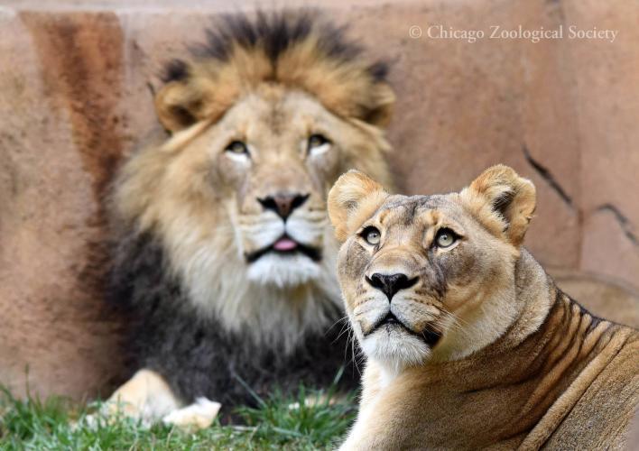 African Lion 07060.jpg