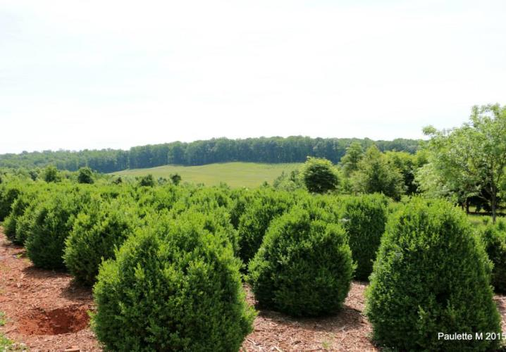 Boxwood Field