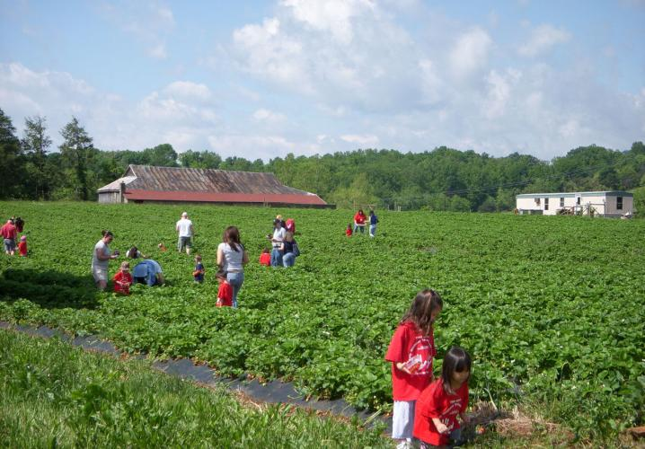 Pick your own strawberries at Chiles Peach Orchard