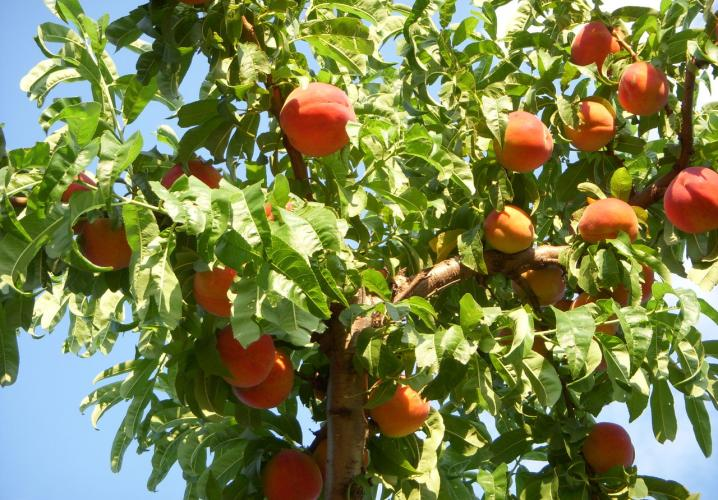 Peaches ripe for picking