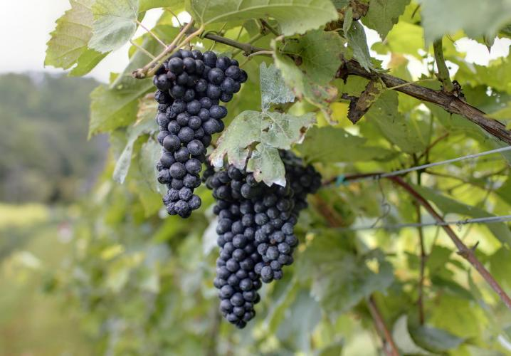 Organic Grapes at Loving Cup Vineyard