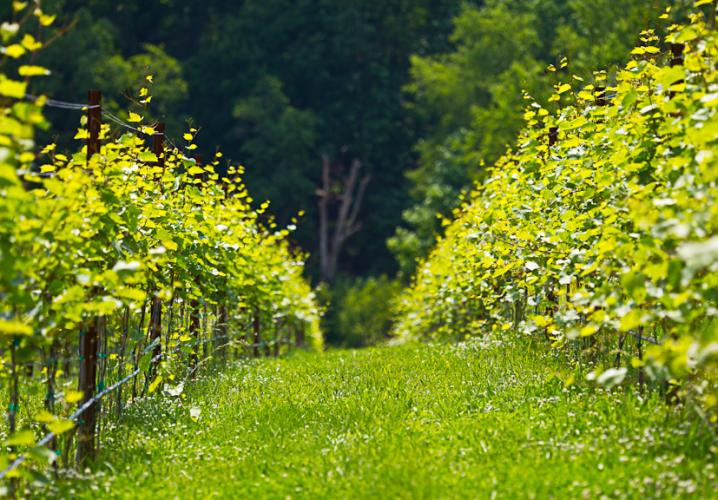 Organic Grape Vines at Loving Cup Vineyard