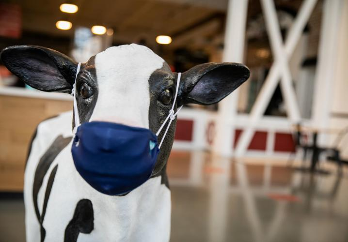 Dairy Market Cow