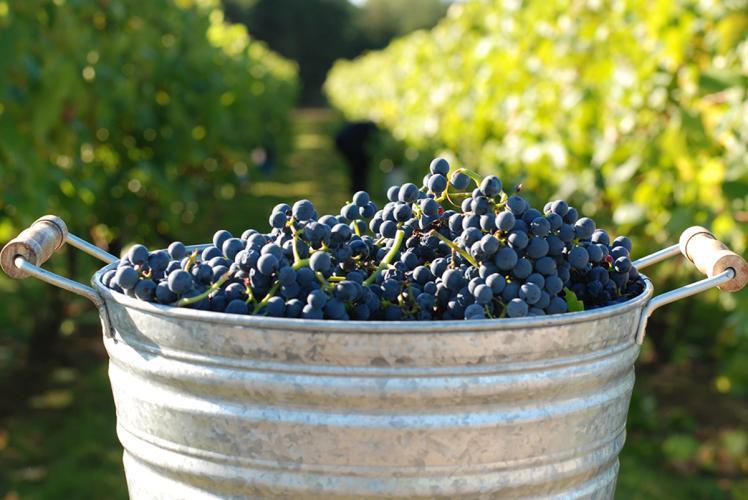 Grapes Bucket