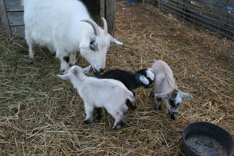 Schult'z Country Barn & Pumkin Patch Animals