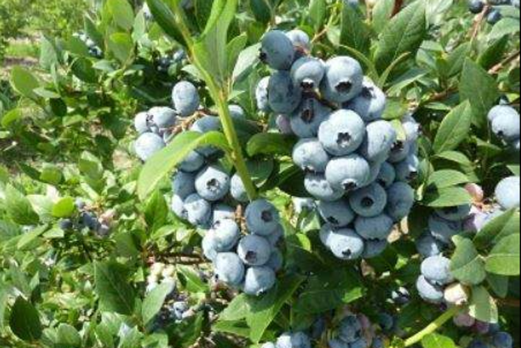 Hidden Acres Blueberry Farm