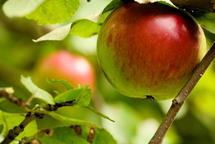 Niblett's Apple Shed: picture of an apple