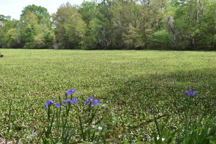 blue irises wetland trace