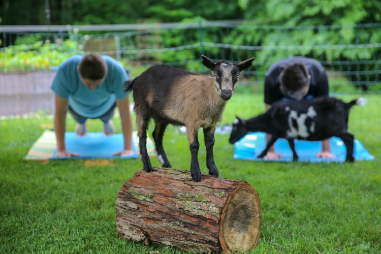 Goat standing on small log with two people behind it planking