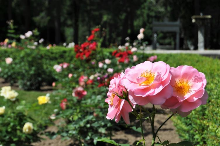 Yaddo pink roses