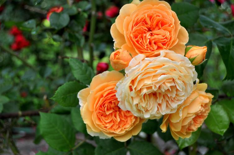 Orange roses at Yaddo