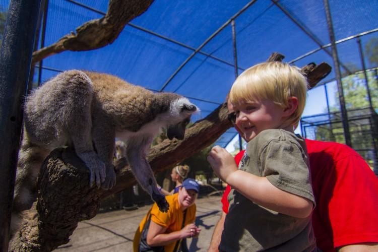 Lemur Feeding at Giraffe Ranch