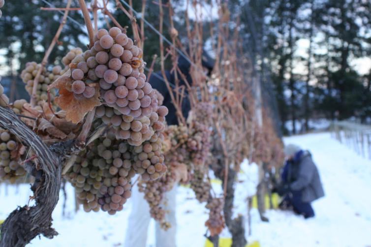 Tantalus Vineyards Ice Wine Grapes