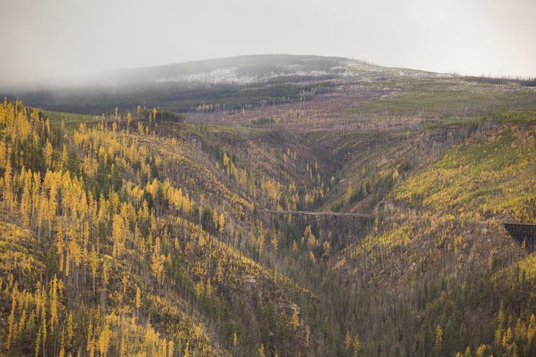 Golden Larches at Myra Canyon