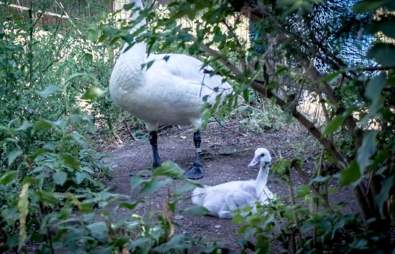 zoo swans