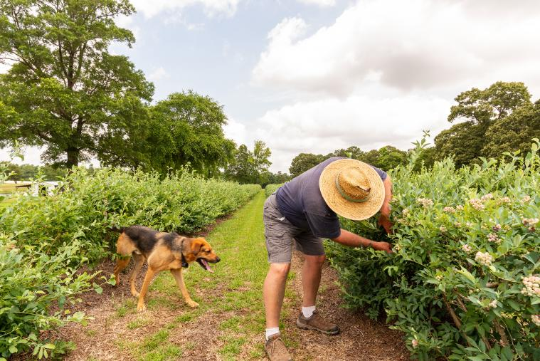 Man and Dog Picking Blueberries at WDW Farm