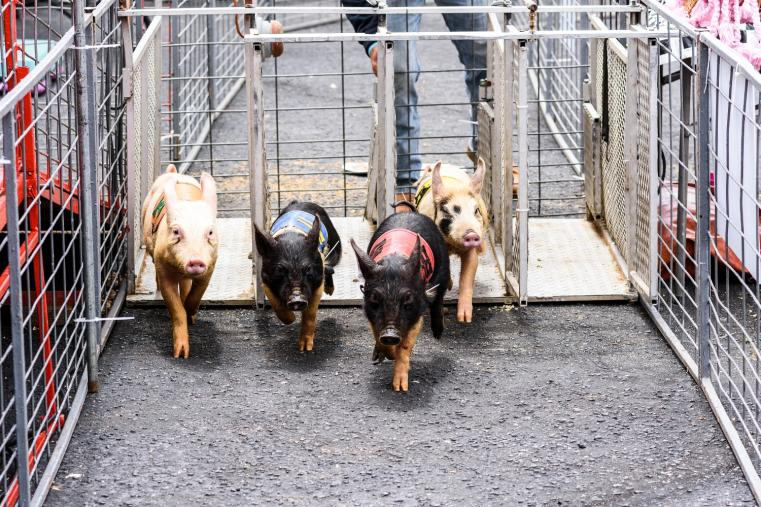 pig race ham & Yam
