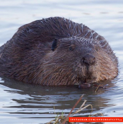 Beavers in Manitoba