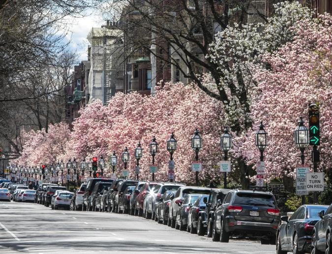 Spring Blooms - Commonwealth Ave
