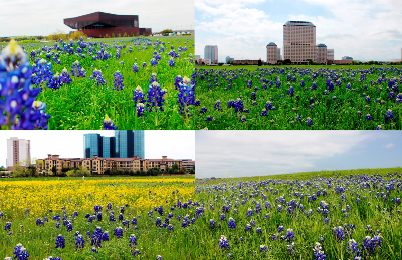 Irving Convention Center Bluebonnets
