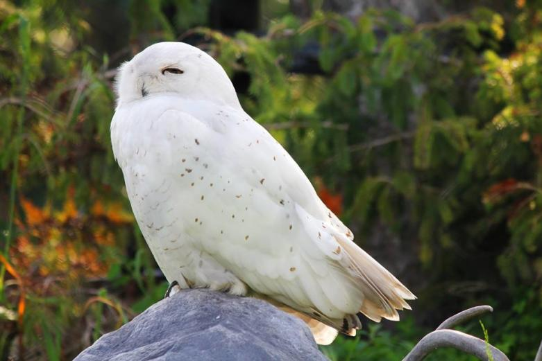 Snowy Owl at the Assiniboine Park Zoo