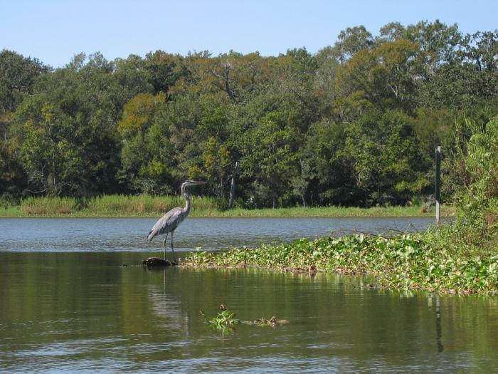 Heron standing in the water at Armand Bayou in Houston