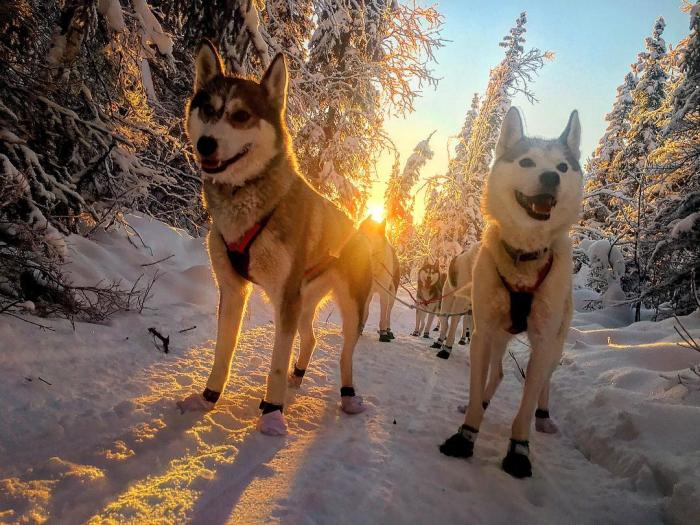 Siberian Huskies Sled Dogs