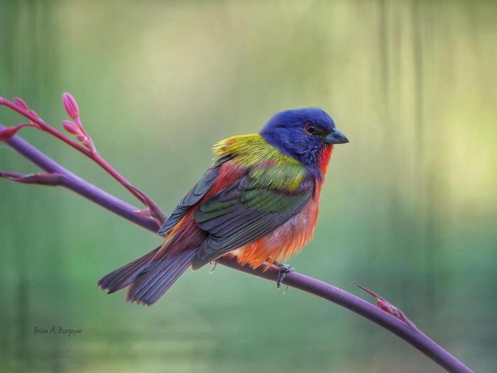 Brian's Bird - Painted Bunting