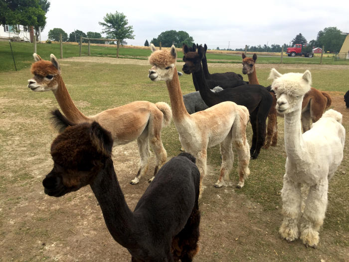 Alpacas Homepage Header