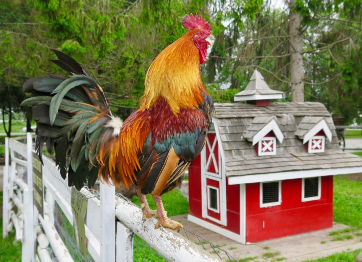 A rooster standing on a fence