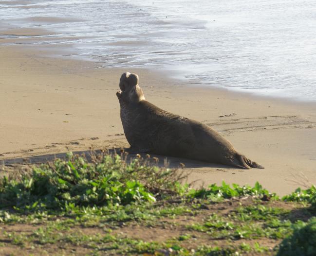 Cindy Shanks - Elephant Seal