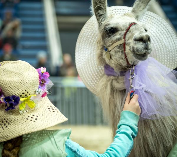 Llama at farm show