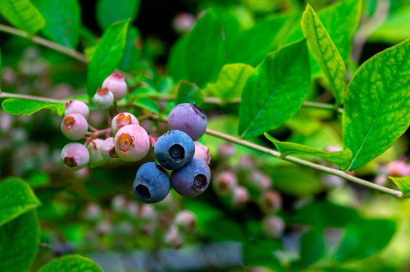Zook's Farm Blueberries